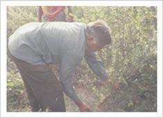 インドの農家と直接契約で生産されたヘナ